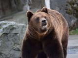 Ordonanța de urgență care permite împușcarea urșilor